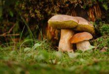 Photo of Eksperci: grzyby najlepiej spożywać wkrótce po zebraniu